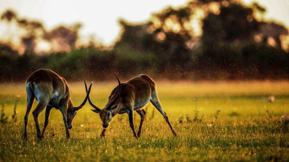 antelope, mammals, animal